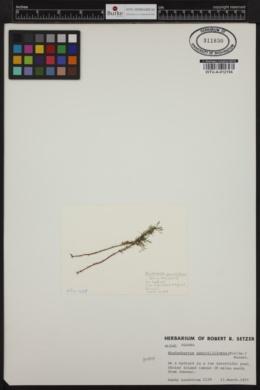 Meiodiscus spetsbergensis image
