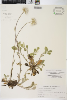 Antennaria parlinii image