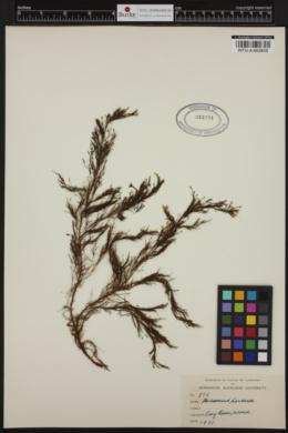 Halopteris hordacea image