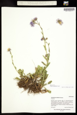Erigeron glabellus image