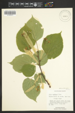 Image of Tilia x euchlora