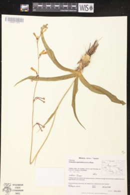 Image of Polianthes geminiflora