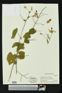 Image of Abutilon reflexum