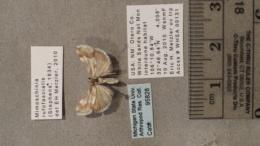 Mimoschinia rufofascialis image