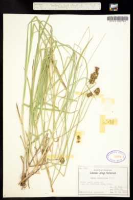 Carex microptera image