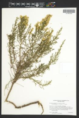 Ericameria palmeri var. pachylepis image