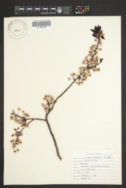 Image of Prunus salicina