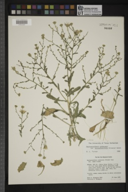 Dieteria canescens var. leucanthemifolia image