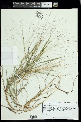 Image of Digitaria arenicola