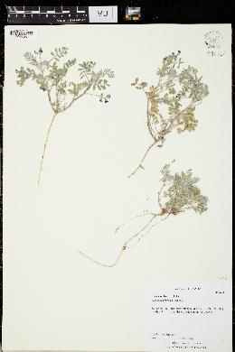 Image of Astragalus nyensis