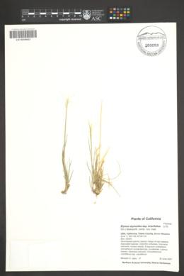 Elymus elymoides subsp. brevifolius image