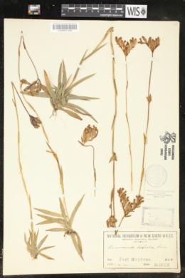 Image of Burmannia disticha