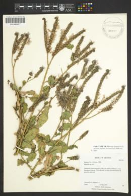Phacelia furnissii image