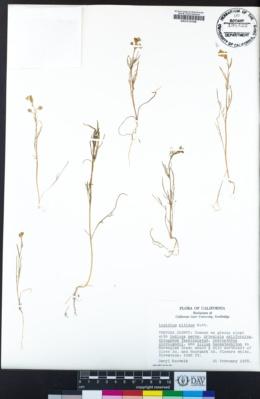 Lepidium nitidum image