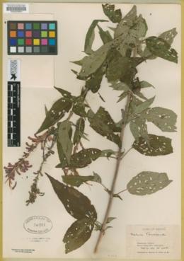 Salvia townsendii image