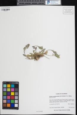 Image of Draba exunguiculata