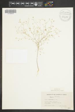 Image of Linum adenophyllum
