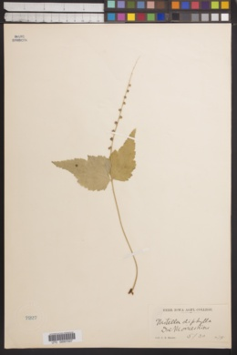 Mitella diphylla image