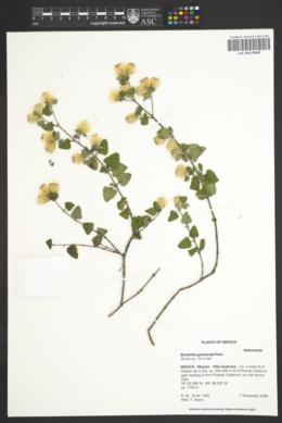 Image of Brickellia glomerata