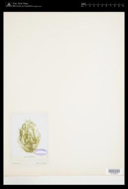 Ulva compressa image