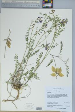 Image of Astragalus castetteri
