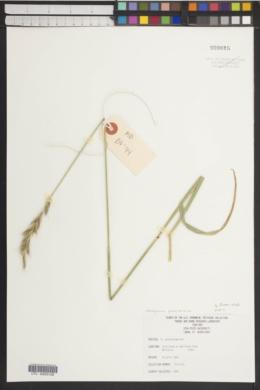 Image of Roegneria glaucissima