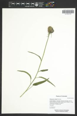 Image of Phyteuma sieberi