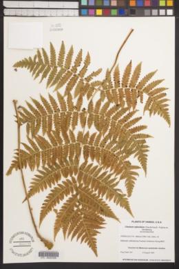 Image of Cibotium splendens