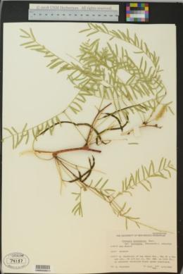 Prosopis glandulosa image