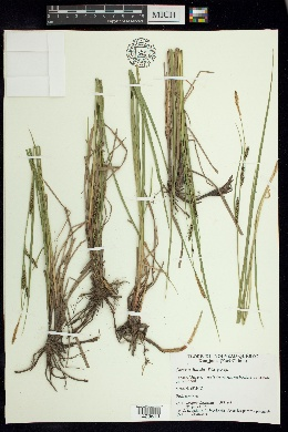Image of Carex x limula