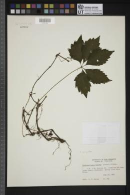 Parthenocissus inserta image