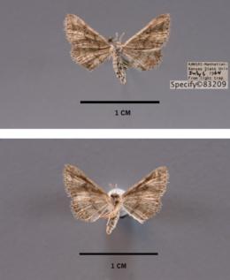Lobocleta ossularia image
