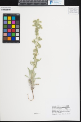 Image of Cryptantha stricta