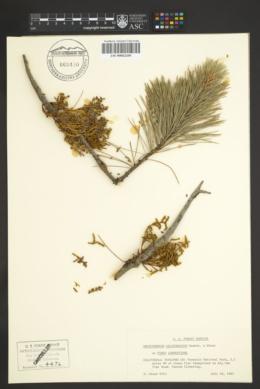 Image of Arceuthobium californicum