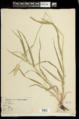 Phalaris coerulescens image
