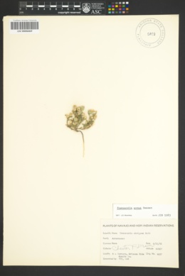 Townsendia annua image