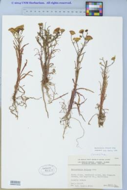 Image of Malacothrix foliosa