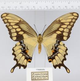 Papilio cresphontes image