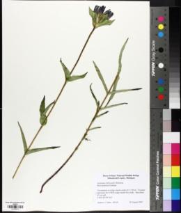 Image of Gentiana rubricaulis