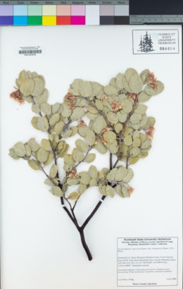 Arctostaphylos canescens subsp. sonomensis image
