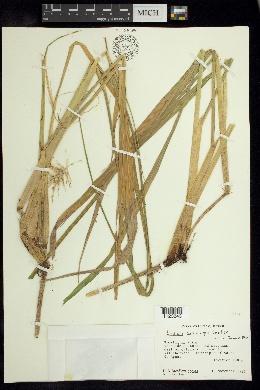 Image of Luziola subintegra
