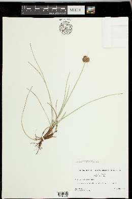 Fimbristylis cymosa image