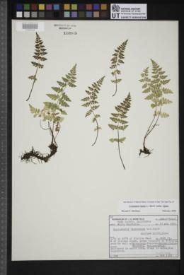 Cystopteris fragilis subsp. fragilis image