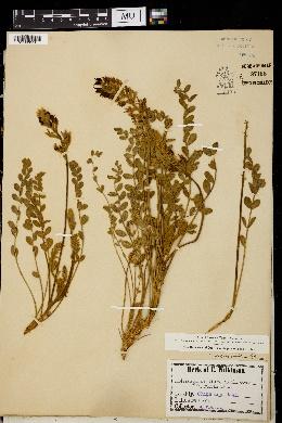 Image of Astragalus pervelutinus