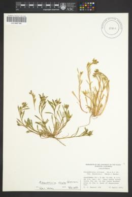 Calandrinia ciliata image