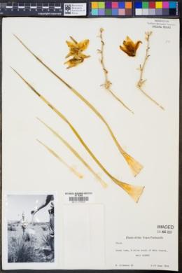 Yucca glauca image