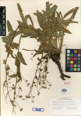 Hackelia mundula image