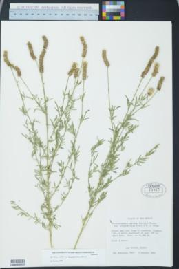 Dalea candida var. oligophylla image