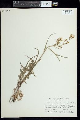 Image of Youngia stebbinsiana