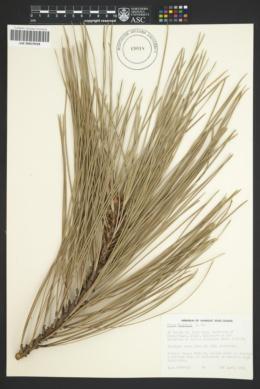 Image of Pinus coulteri